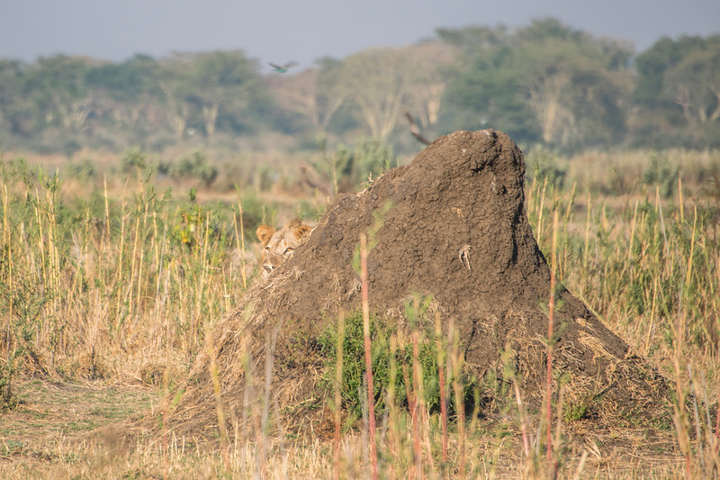 Hide and Seek -  Liwonde National Park, Malawi