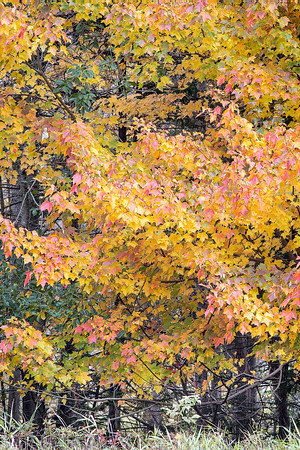 Acadia Maples, Fall Foliage