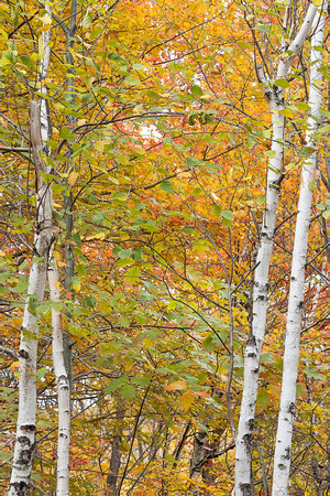 White Birch 2 by 2