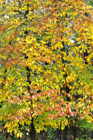 Fall Tree Trio 3