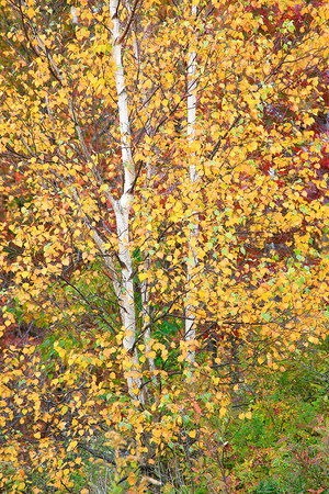 Fall Tree Trio 2