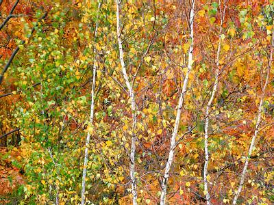 Fall Aspens,Acadia
