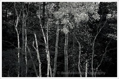 Acadia Woods Mono 1