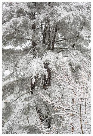 White Pine II