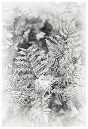 Maple Leaf on Fern