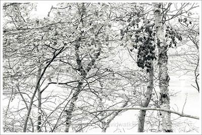 Acadia Woods Mono 3