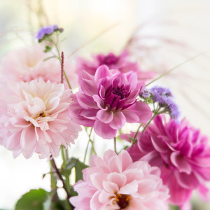 Pink and Purple Dahlias