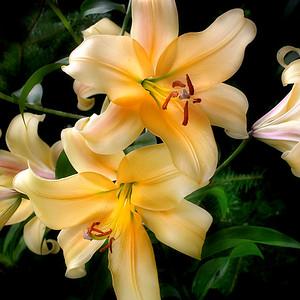 O Lily 1