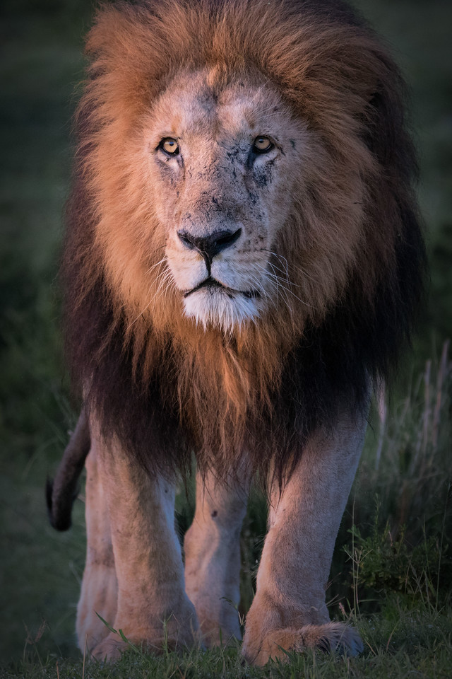"""""""King of the Pride"""""""