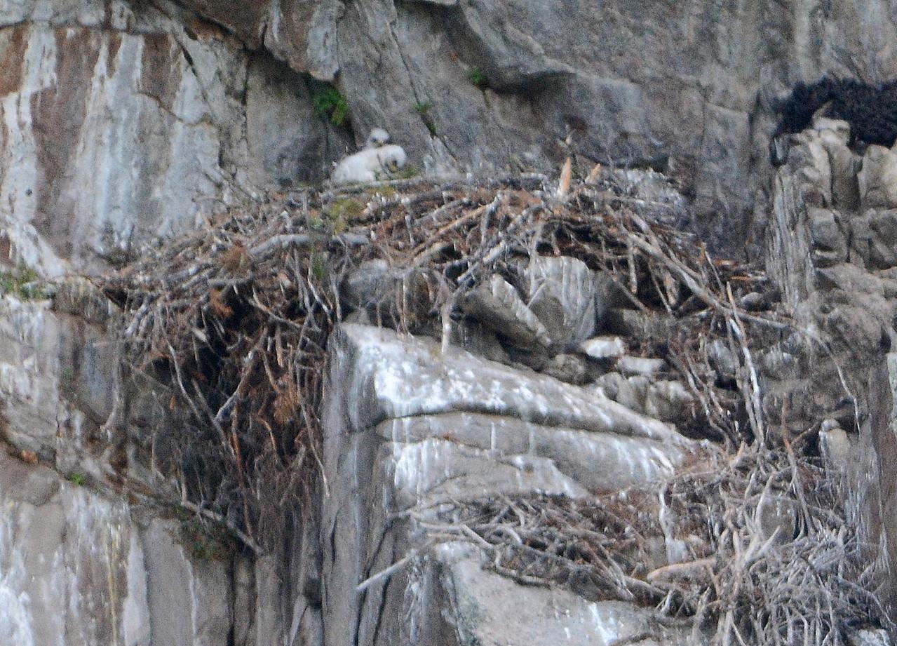 Golden Eagle Eglets