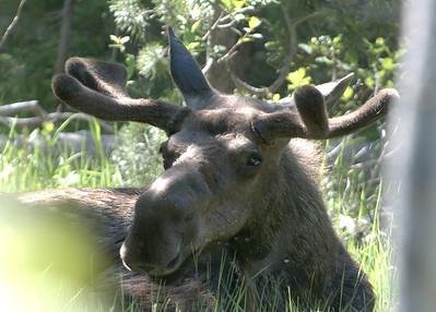Rest bull Moose