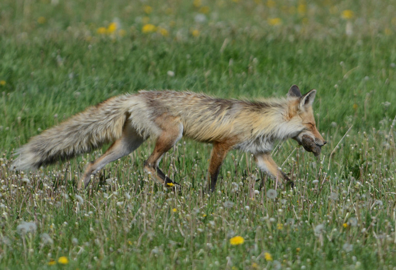 Fox with lunch.