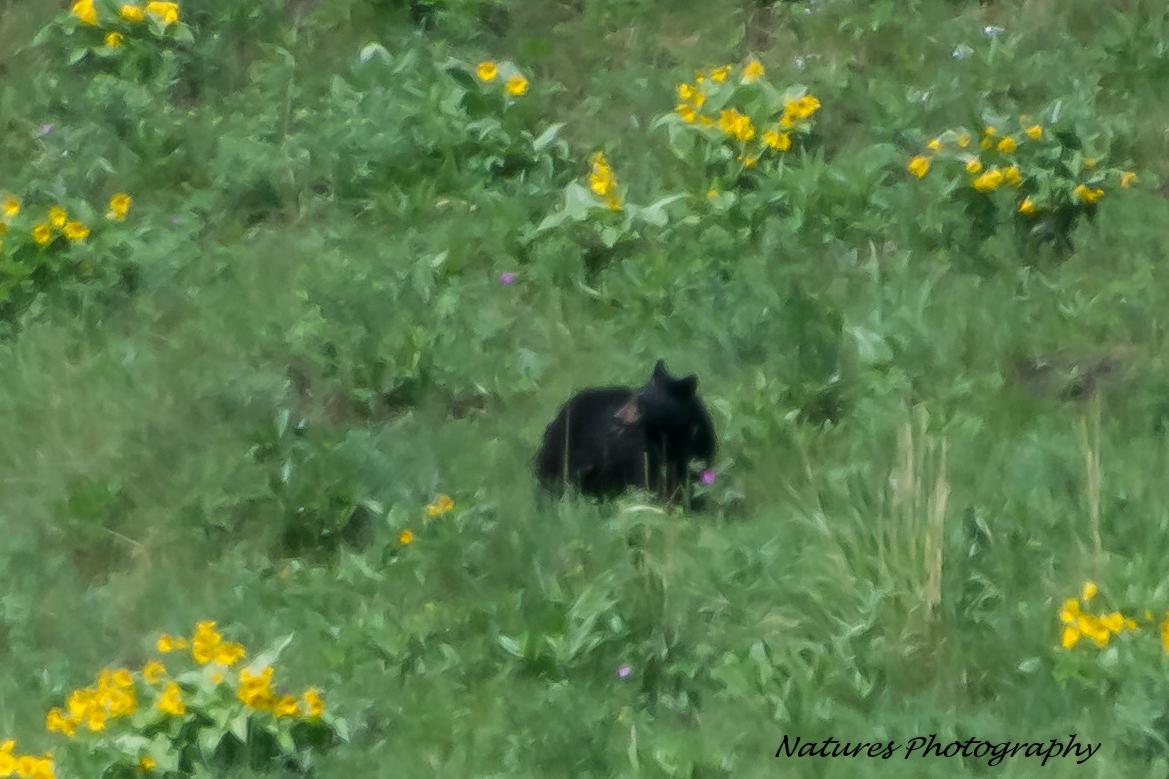 Only bear we saw, no griz