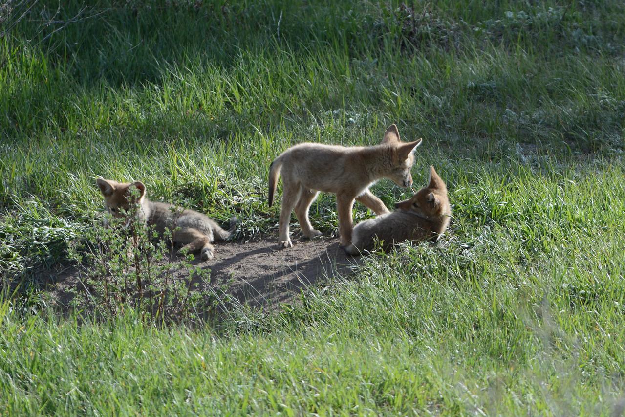 Coyote pups,