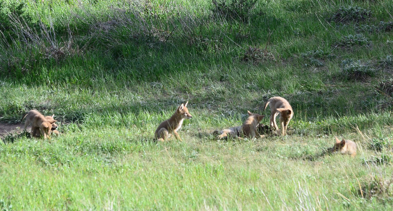 Coyote pups, there are 7 of them