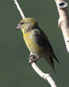 Red Crossbill at higher elevations