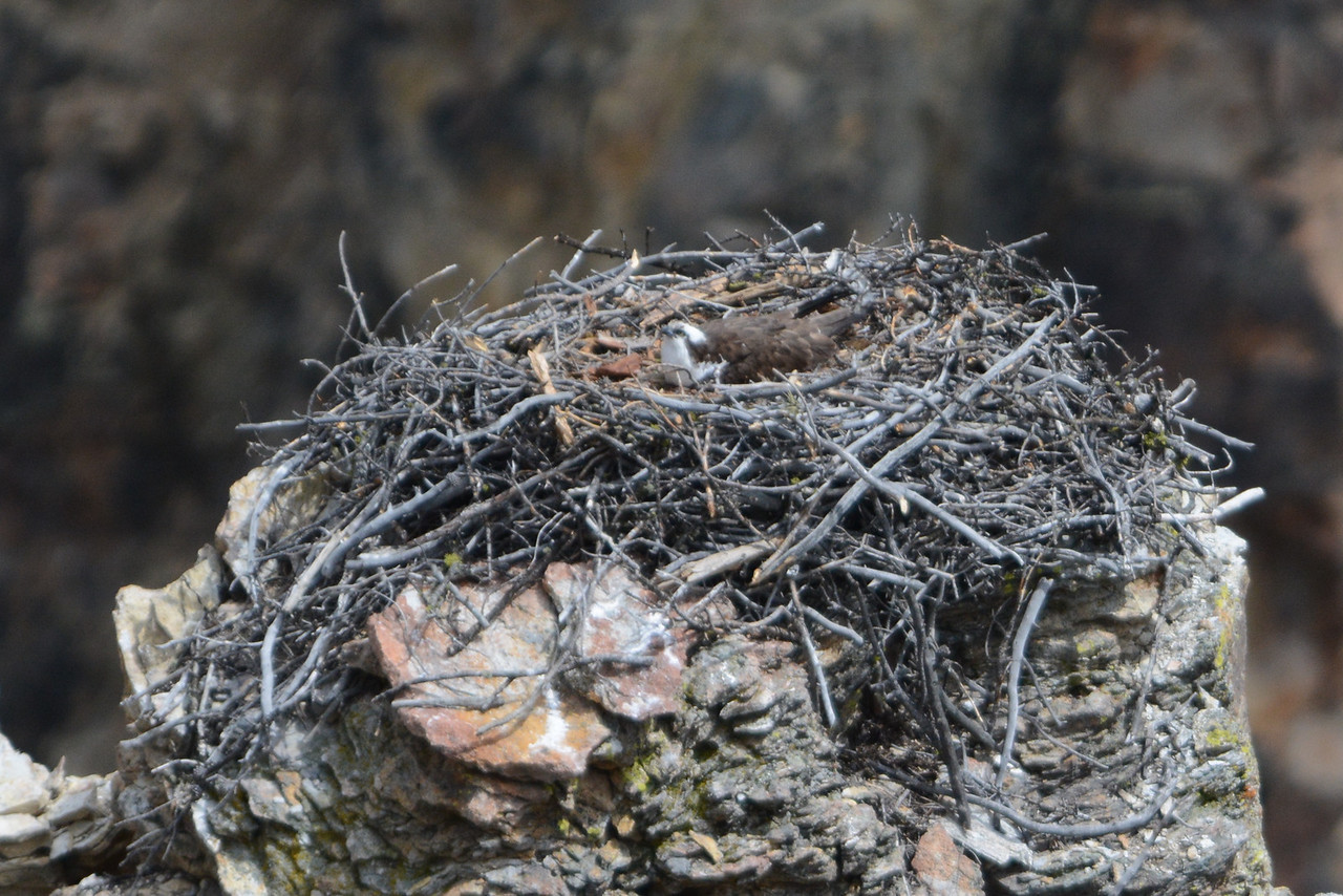 Osprey nest in Yellowstone Grand Canyon