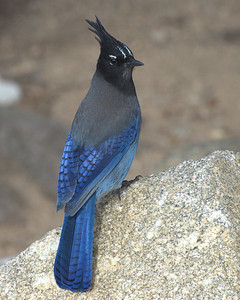 A beautiful Steller's jay