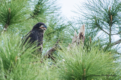 Ft Myers eaglet,  11 weeks old