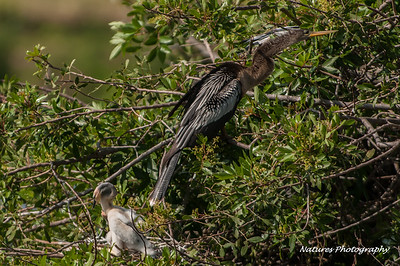 Venice Rookery Anhinga with 2 chicks.