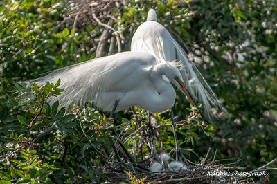 Venice Rookery Egret with chicks