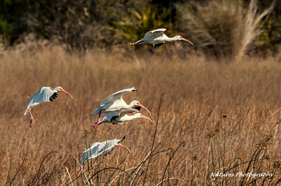 White Ibis on the move