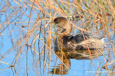 Young Pied - billed Grebe