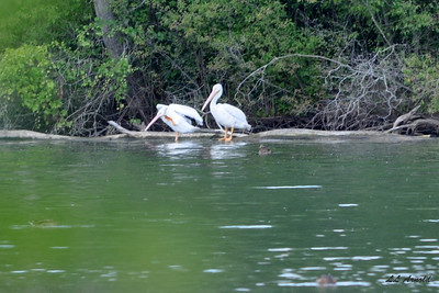 Two Pelicans at Lake St Marys
