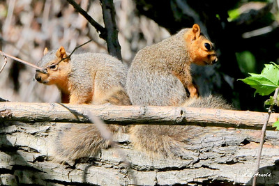 Young Fox Sqirrels
