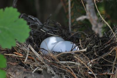 Morning Dove nest