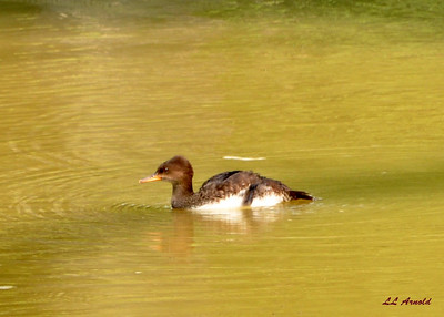 Young Red-breasted Merganser