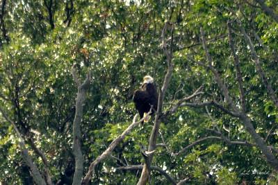 1st Eagle seen at Breslers since spring