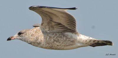 Juvenile Ring-billed Gull