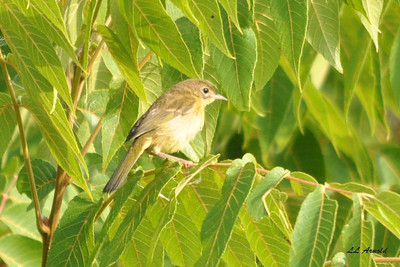 Immature Yellow Warbler