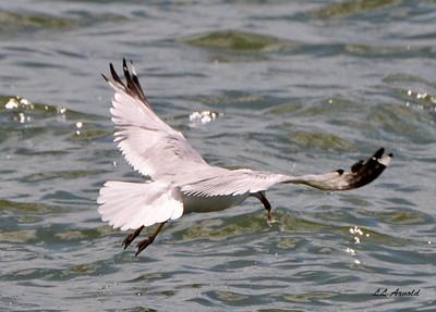 Ring-billed Gull, got you