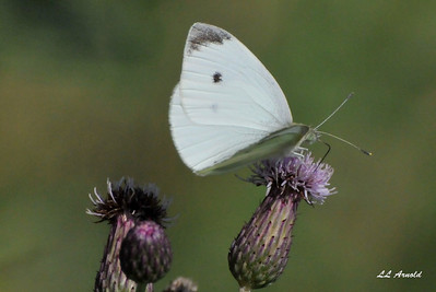 Cabbage White Butterfly, small but beautiful.