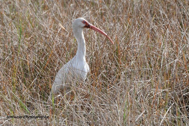 White Ibis - FL 1-5-13