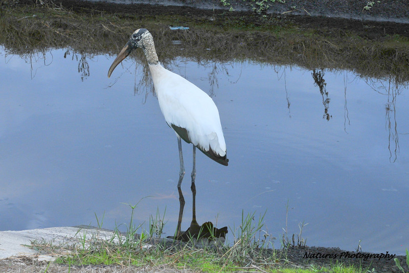 Wood Stork - FL 1-5-13