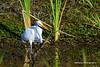 Great White Egret - FL 1-5-13