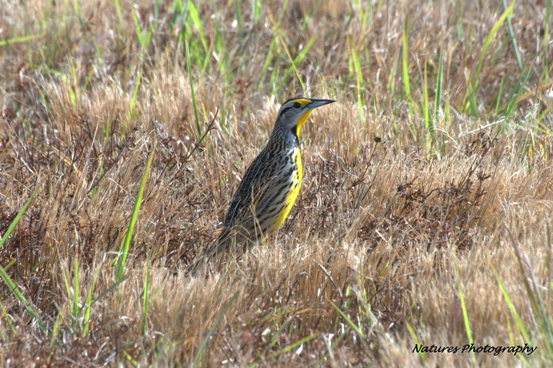 Eastern Meadowlark - FL 1-5-13