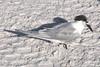 Sandwish Tern - FL 1-10-13