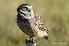 Borrowing Owl - FL 1-5-13