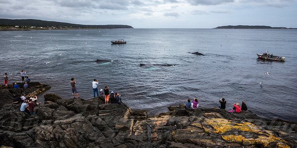 Humpbacks feeding at Witless Bay Newfoundland