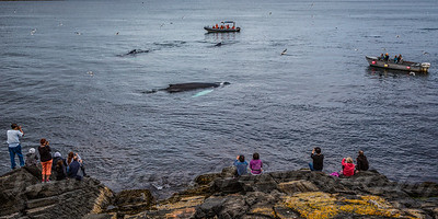 Witless Bay Whales