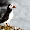 Lone puffin, Elliston, <br /> Newfoundland