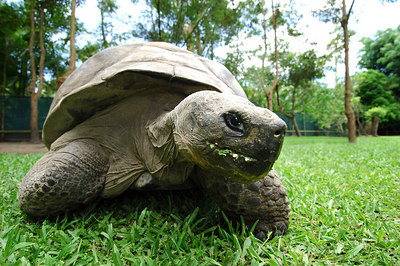 11 NOV 2005 SUNSHINE COAST, QLD, AUSTRALIA - Galapagos tortoise Harriett who is turning 175 is the worlds oldest living animal and resides at Steve Irwin's Australia Zoo in Queensland, Australia - PHOTO: CAMERON LAIRD (Ph: +61 418238811)