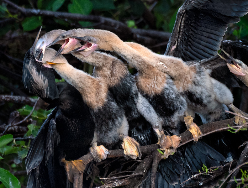 It's not easy being a parent, especially for an anhinga with multiple offspring