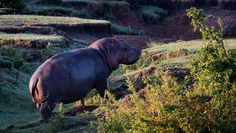 Hippo on a walk, a rare sighting during the day