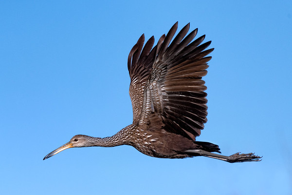 Limpkin in flight