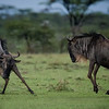 Wildebeests frolicking after a rain